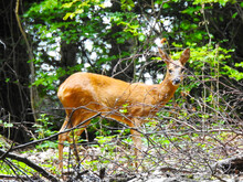 Young Deer In The Forest Behind Tree Branches