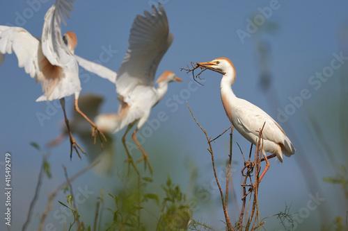 Photo Garza bueyera, bubulcus ibis, plumaje nupcial