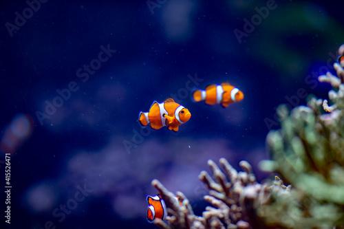 Billede på lærred clownfish