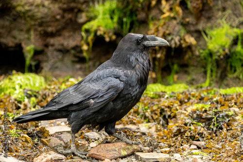 Fototapeta premium Closeup shot of a black common Raven walking n the ground