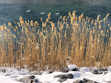The Habitat Of Geese, Ducks And Wonderful Winter Views In The Reed Pond