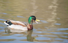 Quacking Male Mallard Duck (Anas Platyrhynchos} On Water