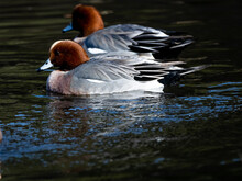 Eurasian Wigeons Feed And Play On Japanese Pond 7