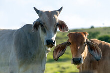 Head Of Gir And Nellore Cattle On The Farm