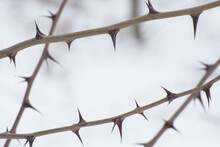 Natural Frame Of Sharp Thorns. Thorny Branches Of A Tree.