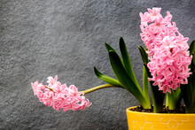 Pink Hyacinths On Yellow Decorative Pot
