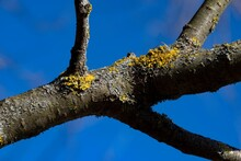 Yellow Moss And Fungus Parasite On A Tree Branch.