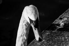 Swan Black & White