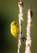 Glodfinch On Cattail