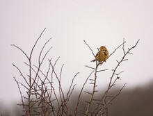 Female House Finch Sits On The Top Branches Of A Wintered Bush