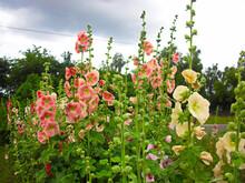Die Blüten Der Prachtvollen Stockrose In Meinen Garten