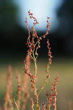 Kleiner Sauerampfer, Rumex Acetosella, Pflanze Mit Samen Und Früchten Vor Unscharfem Hintergrund