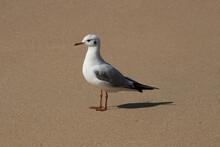 Closeup Of A Beautiful Seagull Ona Sandy Beach