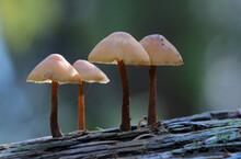 Mycena Mushrooms Growing On A Fallen Tree Trunk
