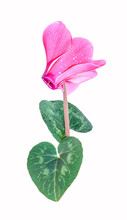 A Pink Cyclamen Flower And Green Leaves With Water Drops On White Background