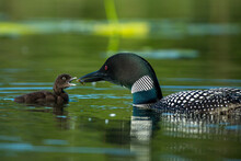 Common Loon Adult Feeding Young Taken In Central MN