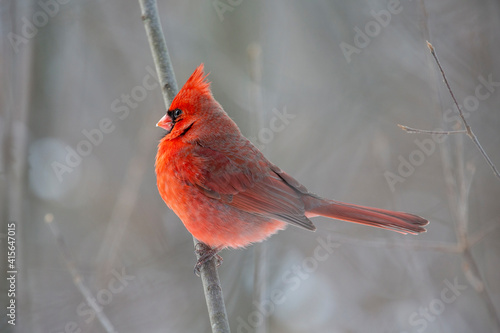 Photo Cardinal in Profile