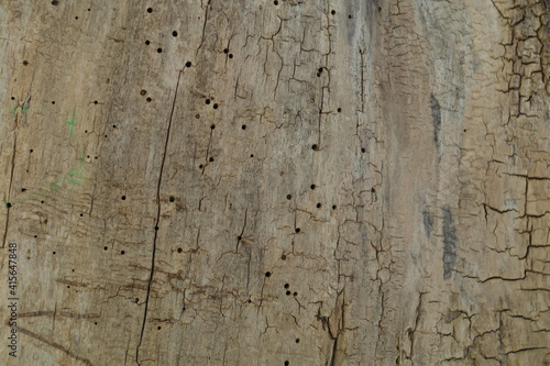 Fototapeta otwory korników w starym pniu obraz