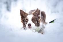 Cute Border Collie In Snow Winter