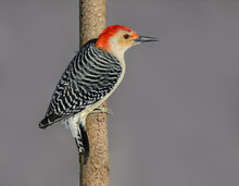 Red-bellied Woodpecker Closeup Portrait In Winter On Gray Background