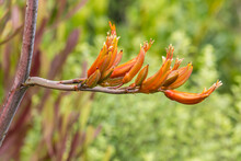 Closeup Of Orange Harakeke - New Zealand Flax Flowers In Bloom With Blurred Background And Copy Space