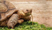 Giant Turtles In Tropical Park. Animal Portrait Of A Beautiful Giant Tortoise