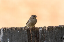 Common Brown House Sparrow Perched On A Fence In The Garden