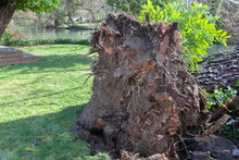 A Close Up View Of The Base Of A Large Fallen Uprooted Tree Caused By Root Rot