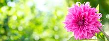 Pink Dahlia Flower In A Garden On Green Background. Summer Flowers