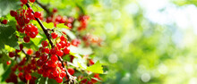 Ripe Red Currant In A Garden On Green Background