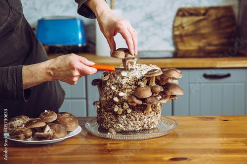 Fotomural Using knife to pick cut Shiitake mushrooms, Lentinula edodes growing in home kitchen