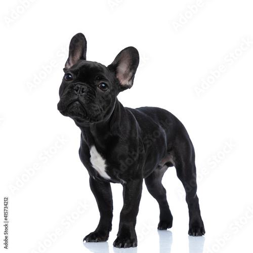 beautiful small french bulldog puppy standing on white background © Viorel Sima