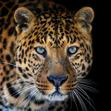 Close Up Big Leopard Isolated On Black Background