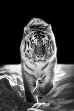 Wild Siberian Tiger Portrait On Snow With Blue Eye..