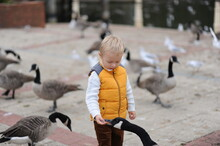 Cute Little Blond Boy In Yellow Jacket Feeding Geese At The Lake In England