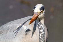 Gray Heron In Fishing Ponds And Marshes Europe