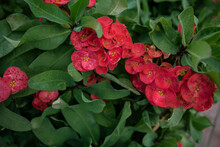 Close Up Of Red Bush Flowers Euphorbia Mila Or Crown Of Thorns.