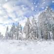 hohe schneebedeckte Tannen