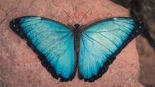 Closeup Shot Of A Morpho Butterfly On A Rock Surface