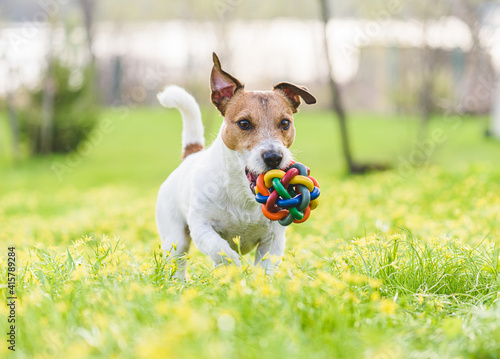 Family pet dog playing with colorful toy on spring lawn in flowers © alexei_tm