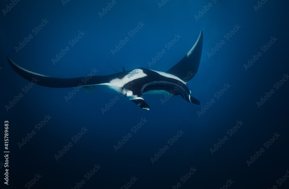 Fototapeta View from above of big magnificent manta ray swimming deep in the water
