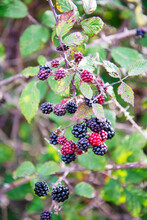 Red And Black Wild Blackberries In Thicket