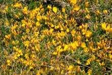 Yellow Gorse Flowers Near The Coast In Brittany