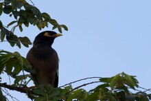 Common Mynah On A Branch Looking To The Side With Blurry Leaves