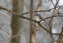 Tufted Titmouse Bird Sitting On Branch During Snow Storm