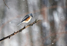 Tufted Titmouse Bird Landing On Branch In Winter Landscape