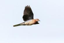 Palmtortel, Laughing Dove, Streptopelia Senegalensis