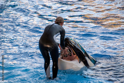 Foto The trainer feeds the orca (Orcinus orca) putting a bunch of fishes in her open