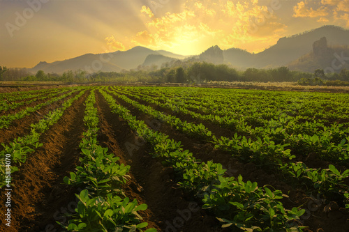 Fototapeta Landscape of peanuts plantation in countryside Thailand near mountain at evening with sunshine, industrial agriculture obraz