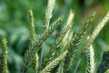 A Pair Of Aphid Flies Copulate On Oats, North China